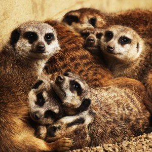 meerkat_family (2)
